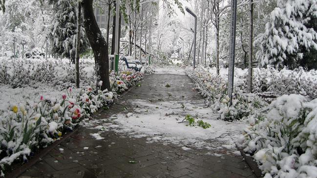 Снег в городе тюльпанов